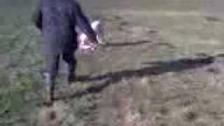 Training The Lurcher Pup On Rabbit Rabbiting Ferret Lurchers