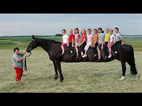 los caballos mas grandes del mundo caballos gigantes reales
