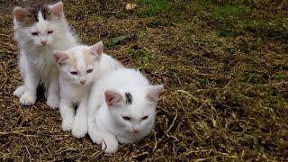 Почему кошки дружат с козами? Домашние животные в деревне.