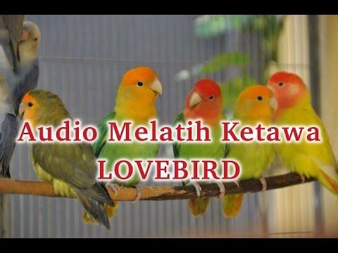 Audio Melatih Burung LOVEBIRD Tertawa Ngakak