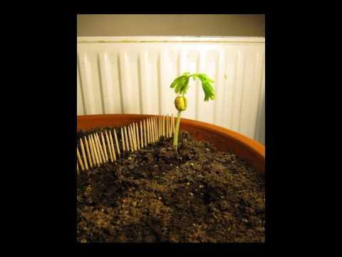 Финик из косточки. Как посадить и вырастить растение дома?