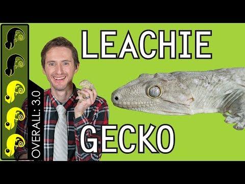 Leachianus Gecko (Leachie), The Best Pet Lizard?