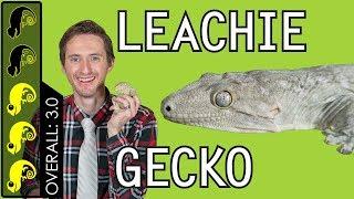 leachianus-gecko-leachie-the-best-pet-lizard