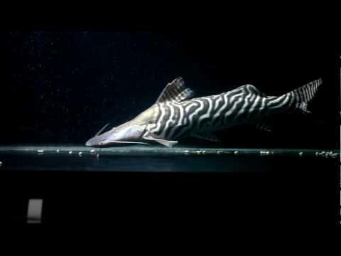 Merodontotus Tigrinus - 27 Inches - March 2010