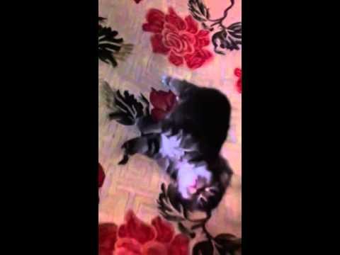 ลูกแมวเปอร์เซียอายุ20วัน