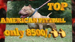 American Pittbull sale //ganesh dog world