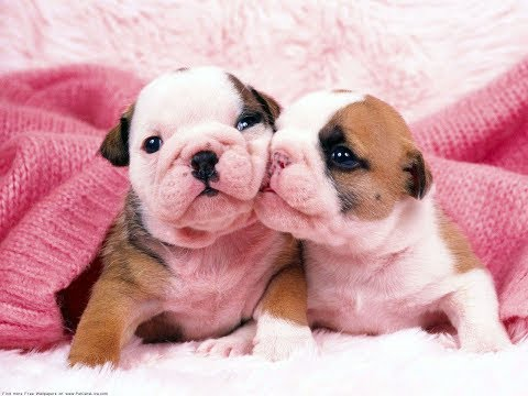Cutest English Bulldog Puppies Compilation 2017 – Cute Dog Videos