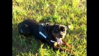 Rottweiler In K9 Harness