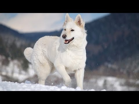 12 Things You Didn't Know About The White German Shepherd