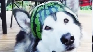 The Funniest and Cutest Husky Compilation of  2020 [Funny Pets]