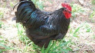 Australorp Chickens | Dual Purpose Egg Machines