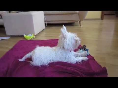 Westie dog self-training   Dog watching TV   Самообучение собаки   Вестик смотрит ТВ