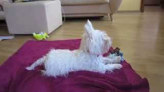 Westie dog self-training | Dog watching TV | Самообучение собаки | Вестик смотрит ТВ