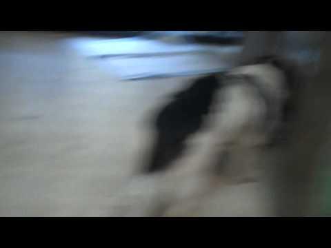 penelope---dachshund-mix-for-adoption