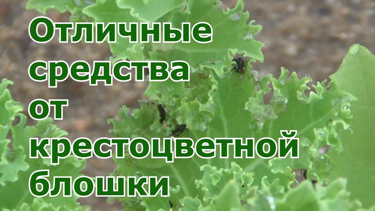 Как спасти посадки от крестоцветной блошки. Проверенные народные методы борьбы от вредителя капусты.