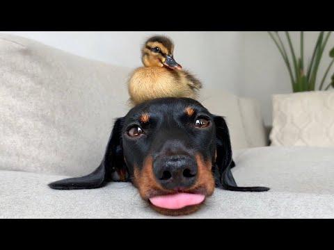 Dachshund & 18 ducklings.