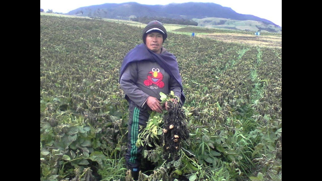 Download Heladas cultivos de Papa en Gabriel López Totoro Cacuca