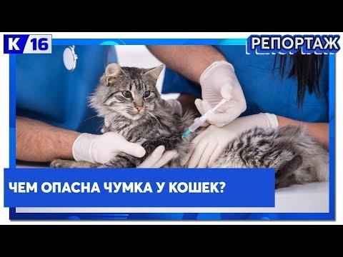 Чем опасна чумка у кошек?