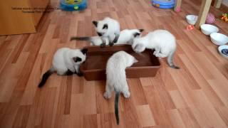 Как тайские котята рыбачили и самый храбрый залез в воду (в конце видео)! Тайские кошки - это чудо!