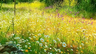 GOOD MORNING SPRING NATURE THERAPYASMR Ambience Meditation4k Flowery Meadow Birds Sounds for sleep
