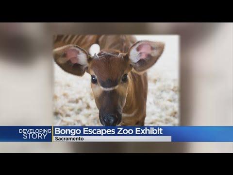 Antelope Recovering After Sacramento Zoo Escape
