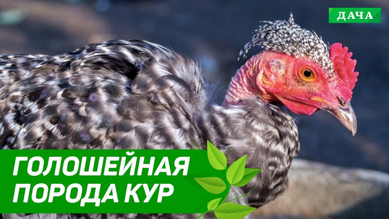 Энциклопедия домашних животных №10 - Голошейная