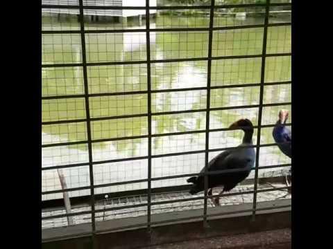 Burung pelan hidup di rawa BANGING HEAD