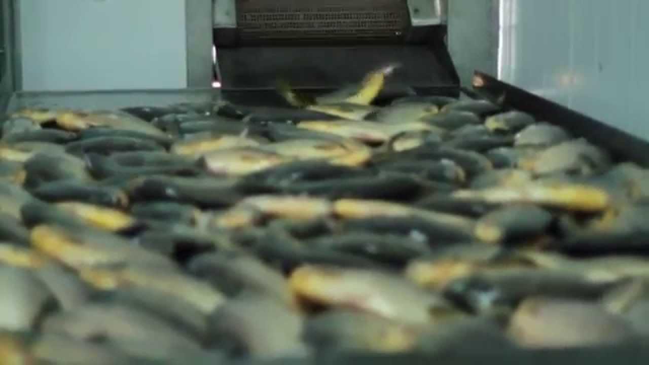 Rotaci n arroz pac en chaco empresa plp group youtube for Criaderos de pescados colombia