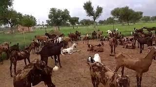 Female goat feeding management at kissan Goat Farm