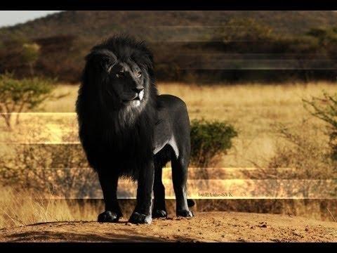 10 mejores leones del mundo increible