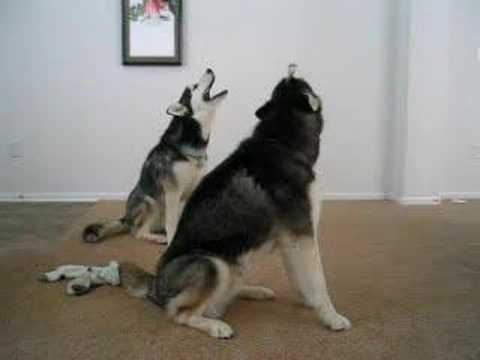 Howling Huskies Youtube