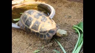 วาสนา กวางตุ้ง (Elongated Tortoise)