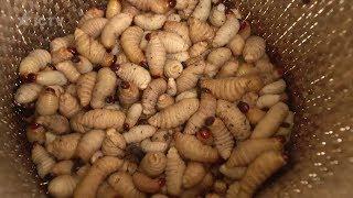 Челлендж с едой:  кто съест больше жирных личинок – Особенности национальной работы – Малайзия
