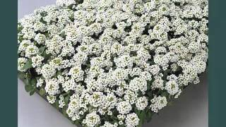 Alyssum White Flowers Picture Ideas For Wedding | Alyssum White Flowers Romance