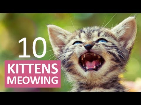 10 KITTENS MEOWING | Make your Cat Go Crazy!  HD