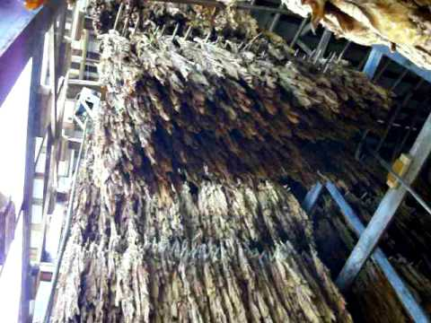 Bulking Tobacco in Cable Hoist Barn (2 of 3)