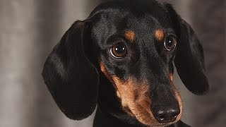 ***Dachshunds Potty-Training Free-Mini Course***