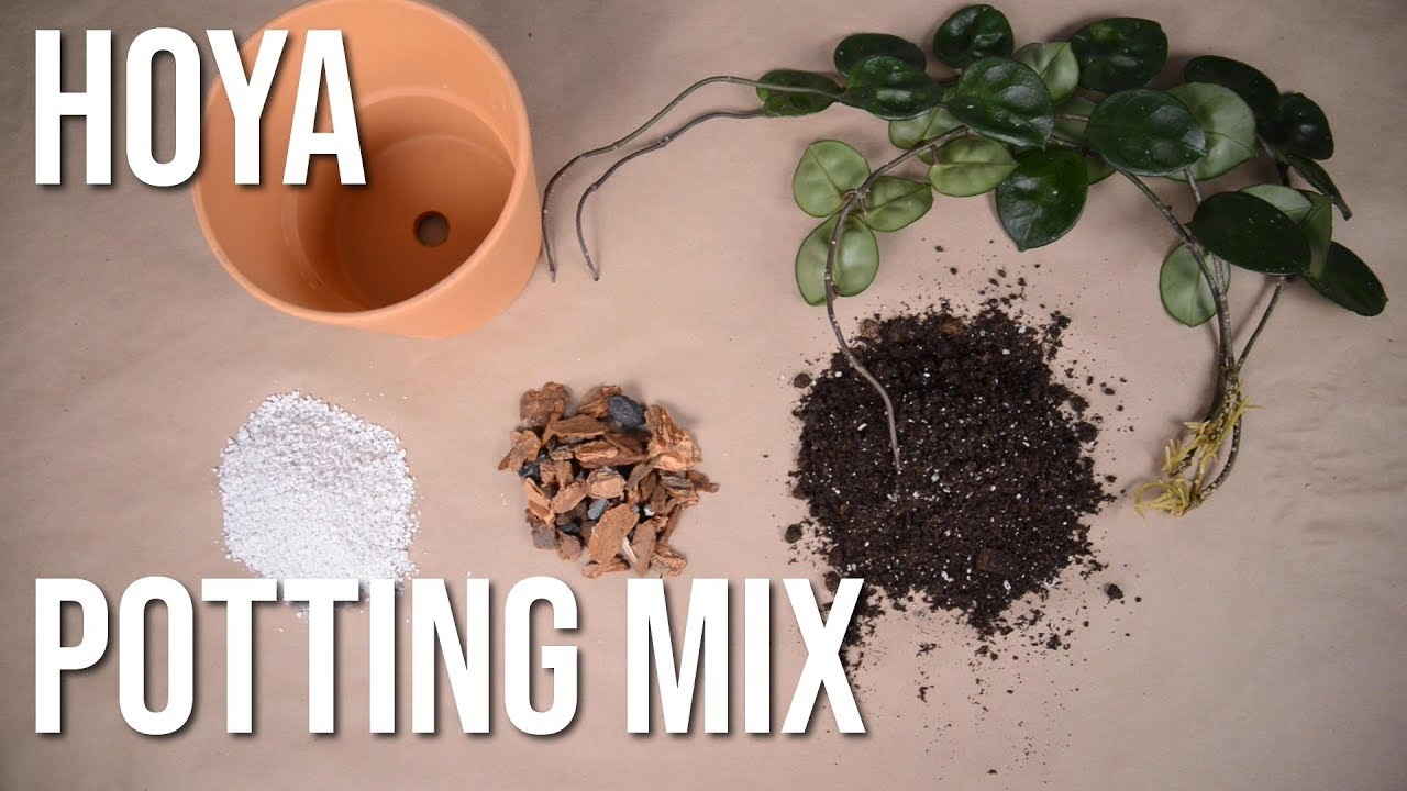 Hoya Chelsea Potting Potting Mix Youtube