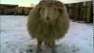 Russian Combat ram Boris Attack. In Soviet Russia sheep fights with you. The Best of Youtube