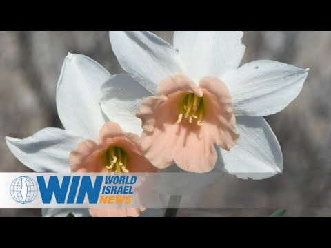 Rare Flower, Only One In Israel, Blossoms On Valentine's Day