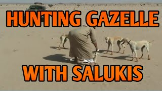 Hunting Gazelles with Salukis in Arabia | Running Dogs