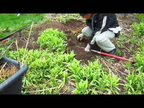 Reclaiming A Flower Bed   Wisconsin Garden Video Blog 492
