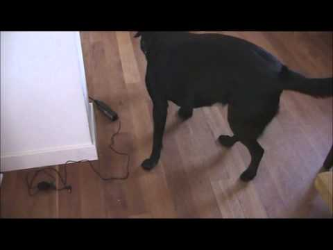 Dog plays with Kong toy