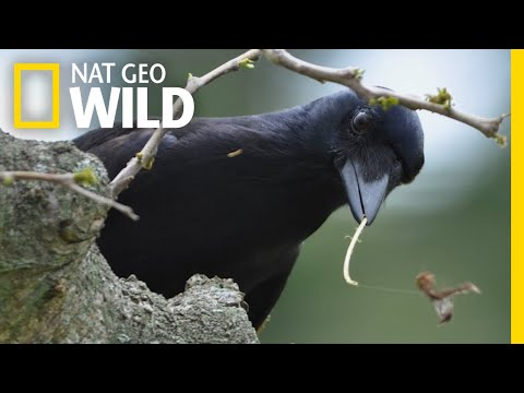 Tool-Making Crows Are Even Smarter Than We Thought | Nat Geo Wild