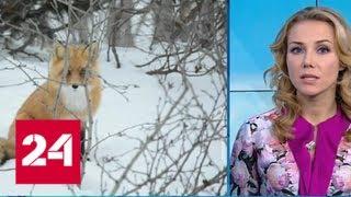 """""""Погода 24"""": нашествие голодных лис поразило жителей Сахалина - Россия 24"""