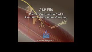 Muscle Excitation Contraction Coupling