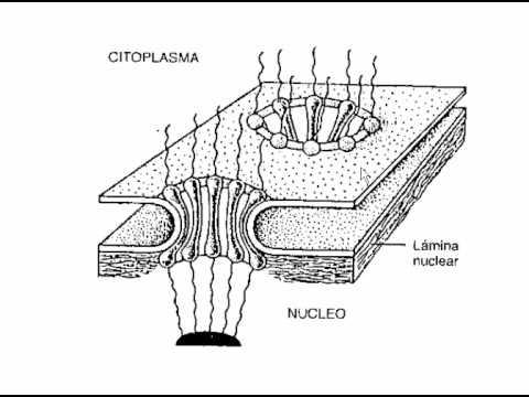 Envoltura Nuclear Y Poro Flv