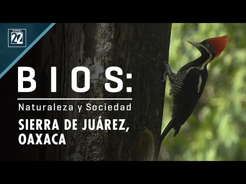 Bios: naturaleza y sociedad. Ixtlán, Sierra de Juárez, Oaxaca.