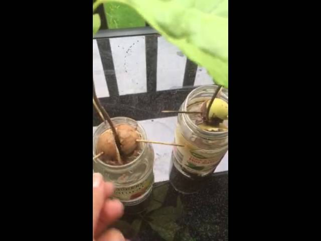 Kako od Avokado seme do Avokado drvo