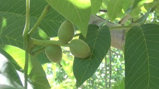 Young Walnut Trees: Less pruning, Less Water, More Crop